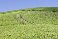 Green Field. Farm land planted with peas Royalty Free Stock Photography