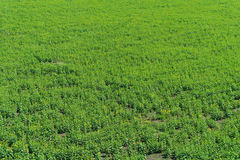 Green field . Royalty Free Stock Image
