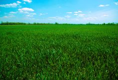 Green Field Against Blue Sky. Background image of a field of winter wheat against a blue sky Royalty Free Stock Image