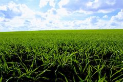 Green field against a clear blue sky and snow-white clouds.  Royalty Free Stock Photo