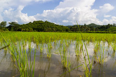 Green field of agricultural rice Royalty Free Stock Photo