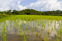 Green field of agricultural rice Stock Image