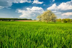 Green Field with Apple Tree in Spring Royalty Free Stock Photos