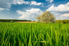 Green Field with Apple Tree in Spring stock photography