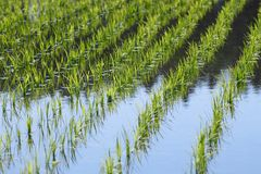 Green field, Asia paddy field Royalty Free Stock Images