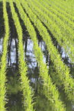 Green field, Asia paddy field Royalty Free Stock Photography