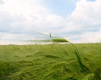Green field of barley Royalty Free Stock Image