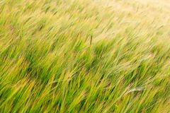 Green Field of Barley Crop Texture Royalty Free Stock Images
