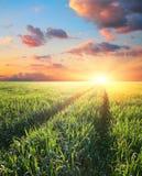 Green field  barley at sunset Stock Image
