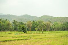 On the green field And beautiful rice fields. royalty free stock photography