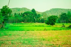 On the green field And beautiful rice fields. Background, fields, sky Stock Photography