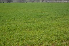 Green field. Big field with green spring grass Royalty Free Stock Photography