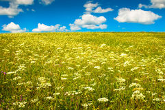 Green field with blooming flowers and blue sky Royalty Free Stock Photos