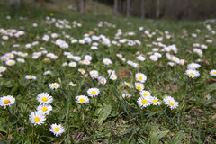 Green field with blossom white daisies Royalty Free Stock Photos