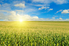 Green field and blue cloudy sky. Sunrise on horizon. Green field with corn. Blue cloudy sky. Sunrise on the horizon stock photo