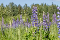 Green field with blue lupines. Macro flowers and grass royalty free stock images