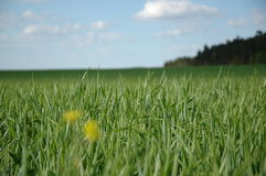 Green field, blue sky. Spring field with green grass and blue sky Stock Photo