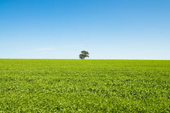 Green Field with Blue Sky. And a single tree centred Royalty Free Stock Image