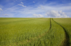 Green Field Blue Sky. A path leads through a green field full of barley and over the horizon into a blue sky Royalty Free Stock Photo