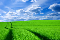 Green field and blue sky conceptual image. Picture of green field and sky in summer Stock Image