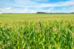 Green field and blue sky Royalty Free Stock Image