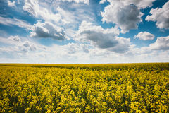 Green Field Blue Sky. Early Summer, Flowering Rapeseed. Oilseed Royalty Free Stock Images
