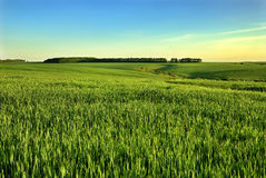 Green field and blue sky. Green field and forest on blue sky Royalty Free Stock Photography