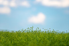 Green field, blue sky. Green summer field and blue sky, Romania Stock Image