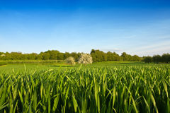 Green field with blue sky and trees Royalty Free Stock Photography