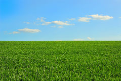 Green field and blue sky. Green field of wheat and blue sky Royalty Free Stock Photo