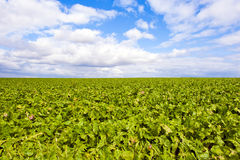 Green field and a bright sky. A green field of cabbage-leaves with a bright sky and beautiful clouds Royalty Free Stock Photo