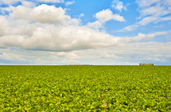 Green field and a bright sky. Field of cabbage leaves and a bright sky Stock Images