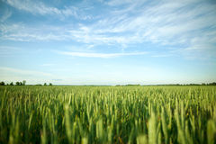 Green field and bright sun. Green field under midday sun Royalty Free Stock Photos