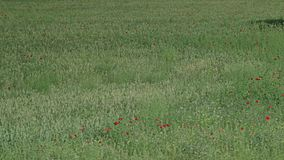 Green field with a bunch of red flowers. stock video footage