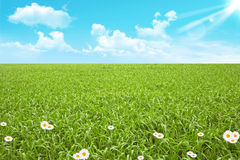 Green field and camomile Stock Images