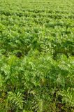 Green field of carrot. The vertical picture of green growing carrot' field stock images
