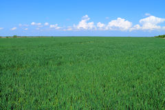 Green field of cereals Stock Image