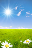 Green field with chamomile Royalty Free Stock Image