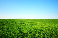 Green field and clear sky Stock Photography