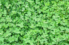 Green field of Clover or trefoil, background and texture Stock Photography