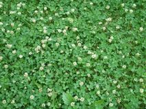 Green field of Clover or trefoil, background and texture. Green field of Clover or trefoil, background and texture Royalty Free Stock Image
