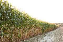 Green field with corn Stock Image