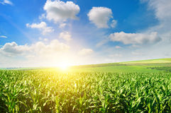 Green field with corn. Blue cloudy sky. Royalty Free Stock Photo