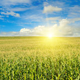 Green field with corn. Blue cloudy sky. Sunrise on the horizon. Stock Image