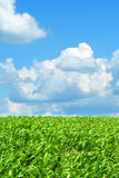 Green field corn and  blue sky Stock Images