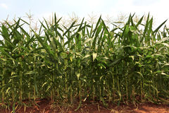 A green field of corn growing up.  stock images