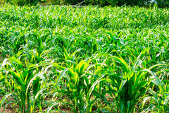 A green field of corn Royalty Free Stock Photo