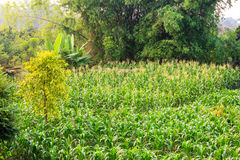 A green field of corn Stock Image