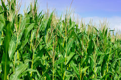Green field of corn Stock Photo