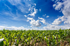 Green field of corn growing up Royalty Free Stock Photography